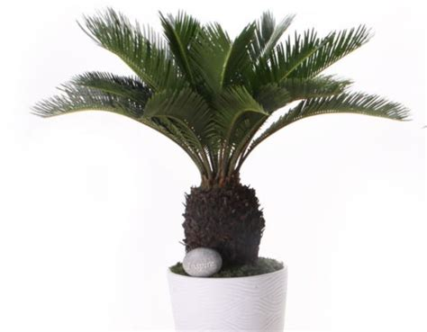 14 best images about sago on pinterest sago palm care