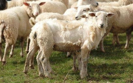Self Shedding Sheep Breeds eli5 how did sheep get rid of their excess wool before