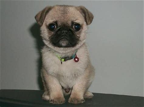 where can i adopt a pug baby pugs pug