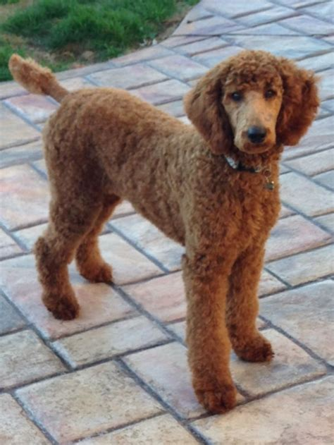 different poodle haircuts pictures of different standard poodle haircuts styles 17