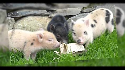 how much do teacup pigs cost dog breeds picture