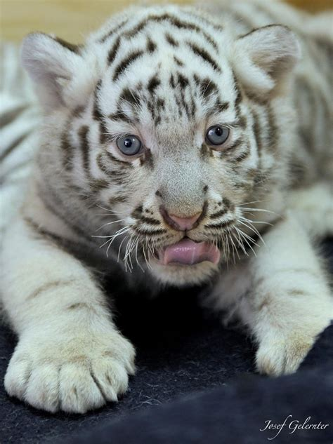 baby white tiger cubs white tiger baby amazing world tigers