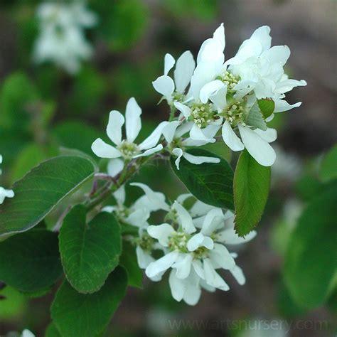 small shrub with white flowers small trees s nursery ltd