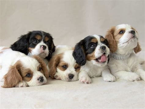 cavalier puppies cavalier king charles spaniel puppies for sale akc marketplace