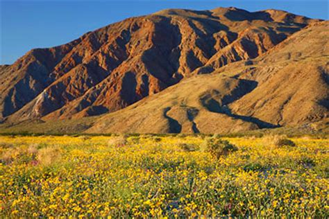 anza borrego henderson canyon desert sunflowers photo blog niebrugge images