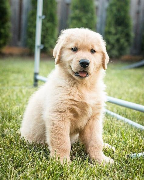 goldendoodle puppy throwing up 1000 ideas about golden doodle puppies on