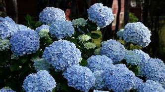 how do flowers get their color how does it take to turn a pink hydrangea blue