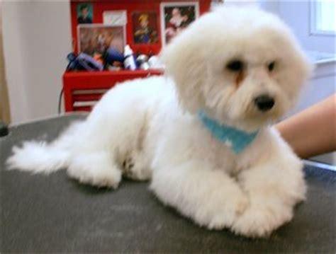how to give a bichon a puppy cut bichon frise haircut styles haircuts models ideas