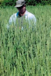 Annual forage seed big sky wholesale seedsbig sky wholesale seeds