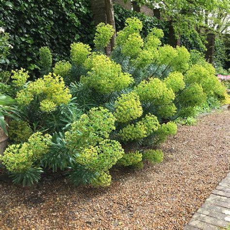 buy spurge euphorbia characias subsp wulfenii 163 7 99