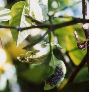 parassiti limone in vaso come curare la fumaggine e proteggere le piante