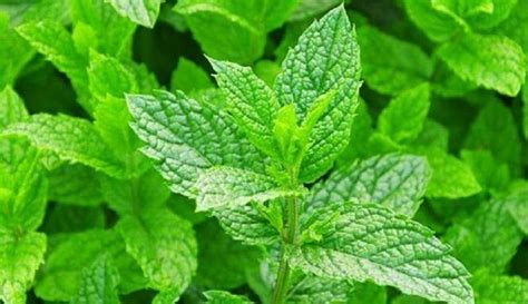Pohon Mint Daun Mint beberapa manfaat daun mint untuk kesehatan ali mustika sari