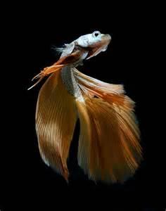 siamese fighting fish siamese fighter fish pinterest