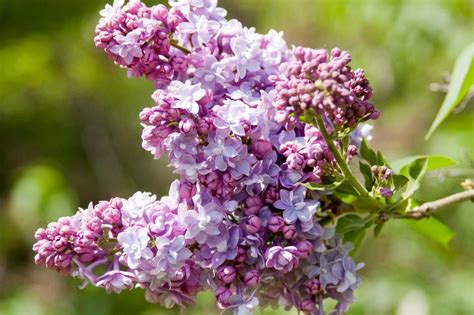 purple lilacs how to plant and care for lilacs hgtv