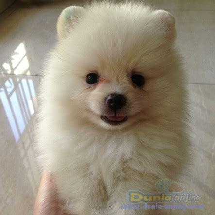 Cacing Sutera Tangerang dunia anjing jual anjing pomeranian dijual anakan mini
