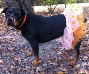 costumes for rottweilers best 25 dogs in costumes ideas only on