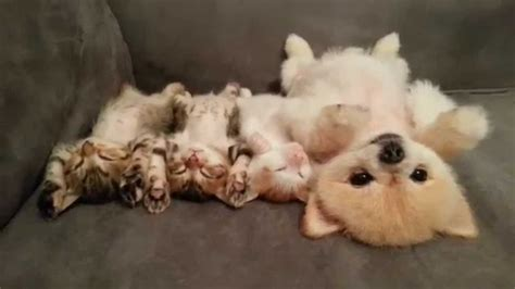 pomeranian with cats and photos dogs
