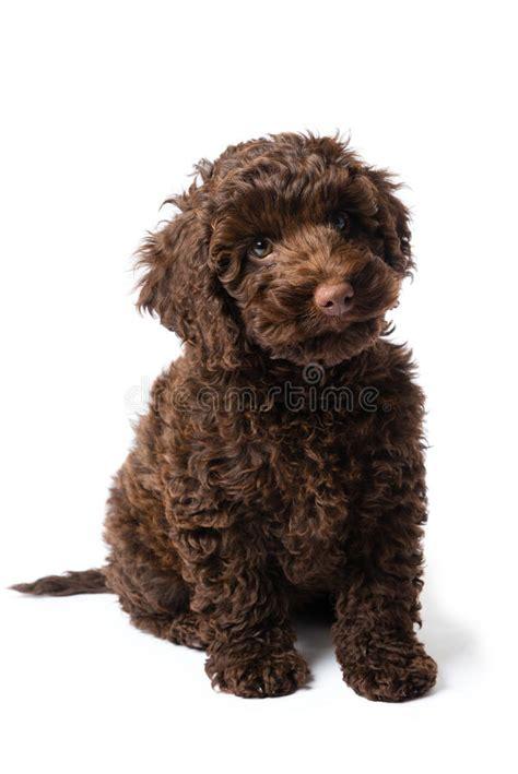 mini doodle nederland labradoodle mini puppy stock afbeelding afbeelding