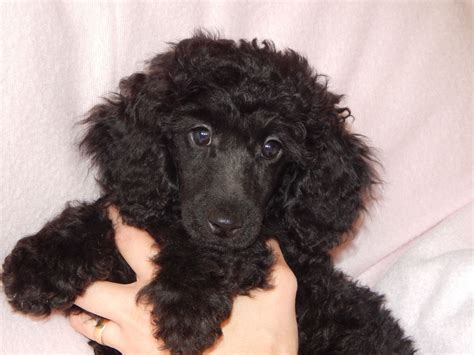 mini poodle puppies miniature poodle puppies for sale ready now st helens merseyside pets4homes