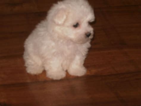 maltese puppies for sale colorado maltese puppies for sale hartlepool county durham pets4homes
