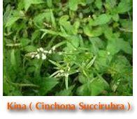 Kina Obat Anti Malaria Isi 12 Tablet kenali manfaat dan khasiat kina merah tanaman berkhasiat dan obat tradisional