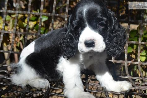 black and white cocker spaniel puppies black white cocker spaniel puppies sale