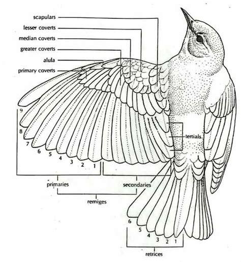 bird wing diagram the forums subeta