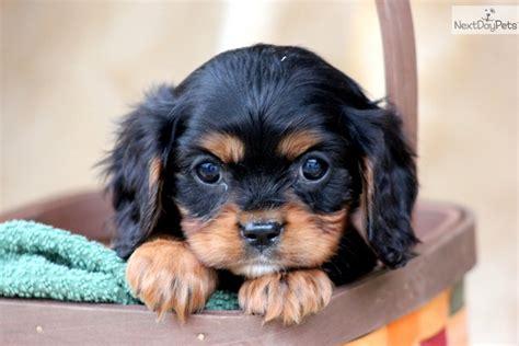 king charles cavalier puppies price cavalier king charles spaniel puppy for sale near lancaster pennsylvania 5741b51b e6a1