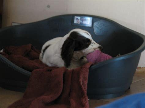 ma chienne de 7 mois fait pipi sur le canap 233