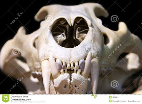 tiger skull stock image image 12533611