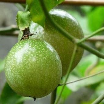 Harga Bibit Markisa benih markisa hijau