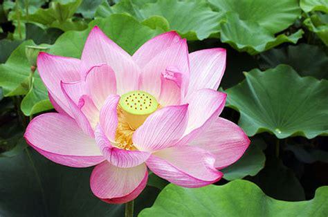 wallpaper bunga ping bunga teratai dan khasiat teratai