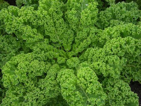 Kale Garden by Byol Kale V Collards