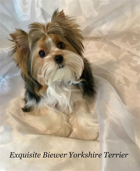 yorkie puppy facts terrier puppies for sale terrier information akc exquisite