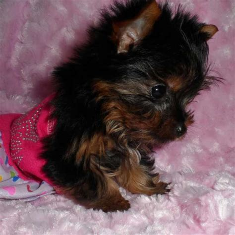 newborn yorkie puppies for sale babydoll yorkie puppy for sale sherry teacup yorkies sale