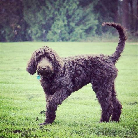 oodles dogs 17 best images about oodle labradoodle on labradoodles puppys and pet