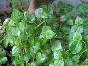 10 medicinal plants in the philippines philippine s