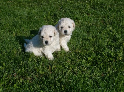 puli puppies file feh 233 r puli kiskutyak jpg wikimedia commons