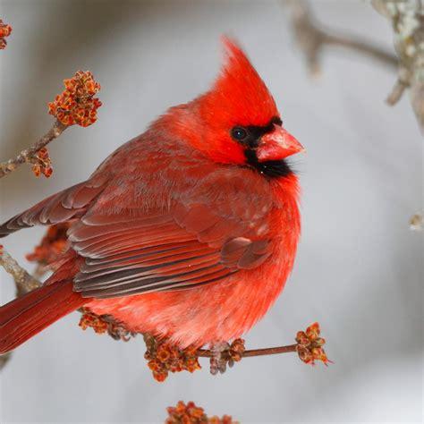 Piyama Gw Pink Bird cardinal national geographic