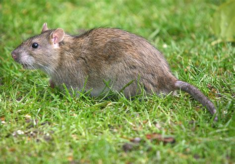 Common Backyard Rodents by Rats Or Roof Humane Removal Of Animals