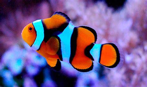 la chachipedia el pez payaso apexwallpaperscom ciclo de vida del pez payaso im 225 genes y fotos