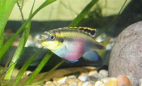 Peacock Decorations by Identifying And Treating The Most Common Cichlid Diseases Ratemyfishtank Com