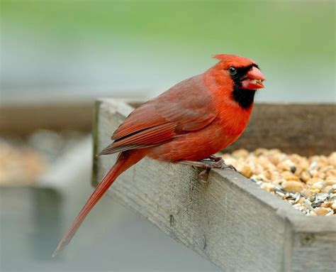 1000 images about birds of pennsylvania on pinterest