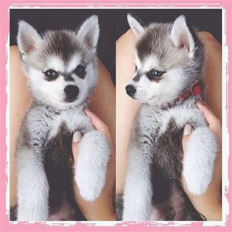 i want puppies i want one pomusky puppies for sale florida and pomsky puppies