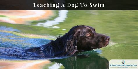 how to teach a to swim swimming how to teach a to swim raising your pets naturally with tonya wilhelm