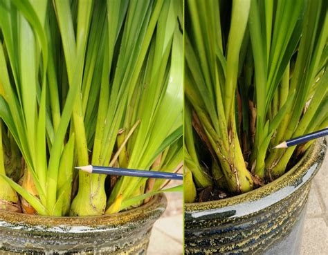 how to repot cymbidium orchids a step by step