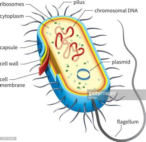 diagram bacterial cell prokaryote stock illustrations and getty images