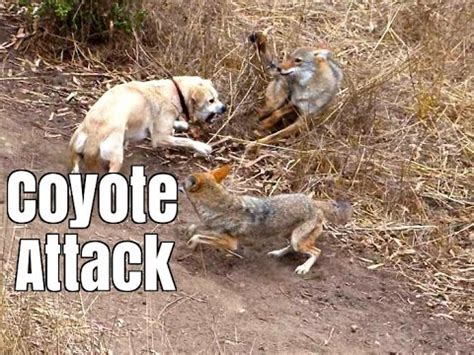 coyote attacks brave cat vs coyote vancouver funnydog tv