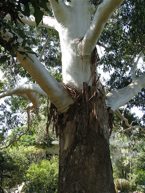 Trees That Shed Their Bark by Gum Tree Shedding Bark Flickr Photo