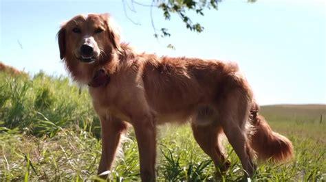 a dogs purpose free a s purpose 2017 fandango